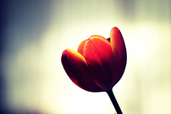 (BRNDON JAMES) Tags: blue orange flower nature vintage bokeh 100mm tulip