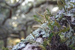 Epiphytes (Dallas Krentzel) Tags: trees plants cloud tree st forest evening oak florida live conservatory lichen ferns preserve kissimmee parasite epiphytes