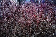 Daily Challenge - Chaos (barachois50) Tags: chaos branches bramble odc ourdailychallenge