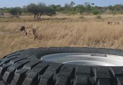Lionesses Stalking
