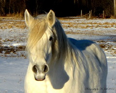 White Winter Horse (**Ms Judi**) Tags: trees shadow horse pet white snow cute eye love beautiful smile grass smiling animal wisconsin fence hair nose nice weeds midwest sweet farm gorgeous hairdo ears ground farmland pure magical loveable whitehorse blending lookingatme enchanting purewhite adored wisconsinwinter msjudi peshtigowisconsin judippc judistevesnson photographybymsjudi whitewinterhorse
