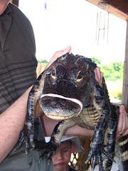 Gator Closeup