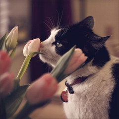 tulips (Black Cat Photos) Tags: uk portrait england pet animal cat canon blackcat photography 50mm photo europe photoshoot naturallight m 18 edit tinker blackcatphotos cataboutthehouse