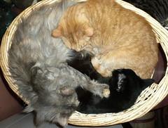 Mobius Strip Cats (k2sleddogs) Tags: cats pets cat feline kitties felines bomber crick gooch k2sleddogs friendsofzeusphoebe