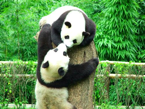 Spielende Pandabären in der Aufzuchtstation Wolong