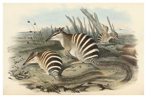 002-El numbat-The mammals of Australia 1863-John Gould- National Library of Australia Digital Collections