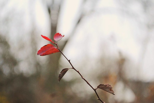 solitary red leaf