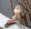 She Flies Over To The Wall. (Church Mouse 07) Tags: uk winter nature birds lumix wildlife january starling panasonic british inmygarden 2011 wildbird femalesparrowhawk dmcfz28 churchmouse07