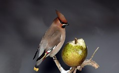 Silkitoppa ad ♂ (Bomycilla garrulus) (Þorgils Sig.) Tags: coth naturesgarden cherryontopphotography alittlebeauty lizasenchantingphotogarden coth5 naturesgardenplatinum naturescarousel