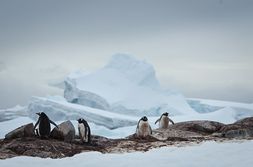 The Penguin Diorama (Port Charcot, Booth Island, Antarctica)