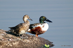Mallard and Northen Shoveler.. (K. Shreesh) Tags: india birds pune naturesfinest supershot kavdi specanimal eos50d impressedbeauty avianexcellence flickrdiamond ef400f56l natureselegantshots
