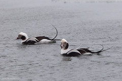 Long Tailed Ducks (Jason Idzerda) Tags: park winter wild toronto ontario canada cold slr bird water beautiful st digital canon is duck amazing long wind 14 dive january ducks windy spit diving tommy full 300mm leslie frame l mk2 usm 300 f28 ef thompson tailed mkii extender 2011 14x f28l oldsquaw canonef300mmf28lisusm oldsquaws 5dmkii 5dmk2
