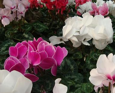 flowering house plants cyclamen flowering house plants identification