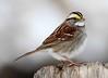 White-throated Sparrow (AllHarts) Tags: nature whitethroatedsparrow featherweights fishisland awesomebirds 10nw pogchallengewinnershalloffame lakebarkleylodge naturallywonderful naturespotofgoldlevel2 stunninganimalsandbirds naturespotofgoldlevel1 naturespotofgoldlevel3 5wonderwall