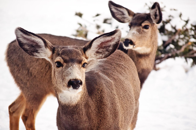 Two doe standing in the front yard, one is looking close to the camera and the other is looking off to the left