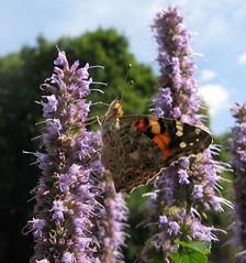 Memory (langkawi) Tags: summer butterfly insect papillon langkawi schmetterling paintedlady vanessacardui naturesfinest distelfalter babochka