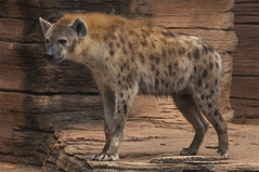 I'm upset... (ucumari photography) Tags: ucumariphotography riverbanks zoo columbia sc south carolina animal mammal 2013 hyenahyena hyena october dsc6599 specanimal ourspolaire oursblanc osopolar 北極熊
