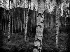 The woods (la1cna) Tags: woods wald skog tree hiking smallsensor nature monochrome panasonic norway trail texture bjrk birch