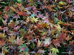 Acer Leaves. (mcgrath.dominic) Tags: acer trees fotaarboretum cocork
