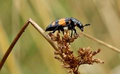 carrion or burying beetle................explored, thank you (Suzie Noble) Tags: beetle insect invertebrate rovebeetle horseshoebog bog water field strathglass struy