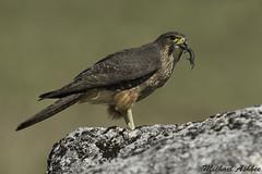 New Zealand Falcon/krearea (Falco novaeseelandiae) (mikullashbee) Tags: newzealand falcon krearea falconidae raptor with prey skink south island canterbury bird falco novaeseelandiae