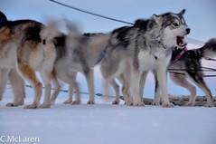 Sled Dog Races (ruminate) Tags: winter snow dogs january arctic dogsledding nunavut sleddog dogsled rankininlet winter2010 nikond90 dogsledraces january2010