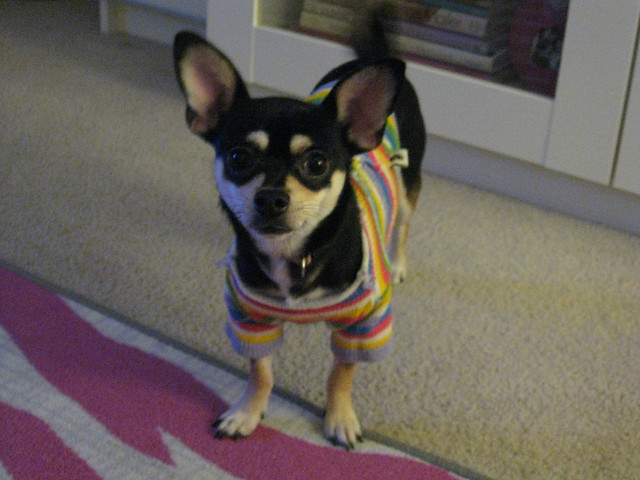 Chloe in sweater.  Dec 2010