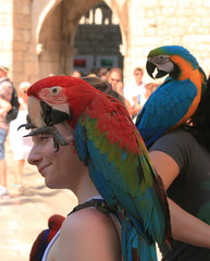 Parrots in Dubrovnik (johan.pipet) Tags: street summer vacation holiday bird canon europe croatia parrot tourist palo dubrovnik hrvatska atraction bartos barto