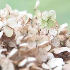 Green (*Twinkel*'s photostream) Tags: green nature groen dof hydrangea hortensia justcropped groeneblaadjes