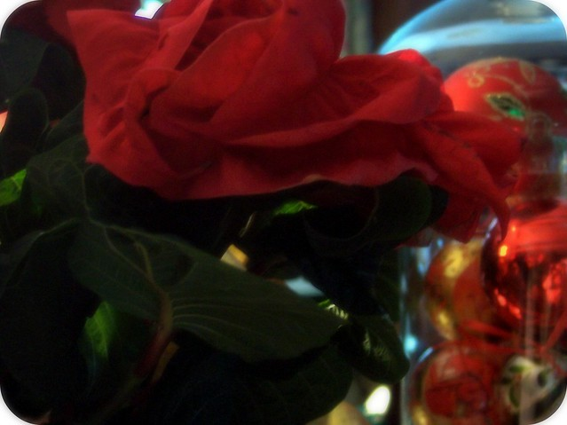 rose poinsettia 2