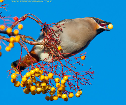 5215212538 22fbaca70a Waxwings in the UK
