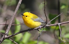 Prothonotary Warbler (naturelover2007) Tags: bird nature fauna warbler pointpelee naturelover prothonotary supershot birdphoto avianexcellence naturelover