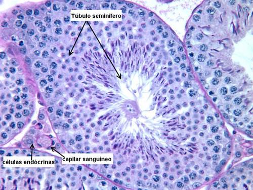 testiculo histologia