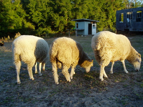 sheepes
