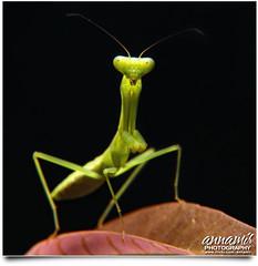 Hello World! (AnNamir c[_]) Tags: macro animal blackbackground canon mantis eos 50mm diy unique nopeople 7d f22 diffuser lipis macrofilter 580exii diydiffuser keledek mentadak annamir 100commentgroup