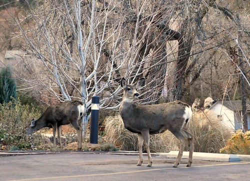 Colorado Springs - Deer