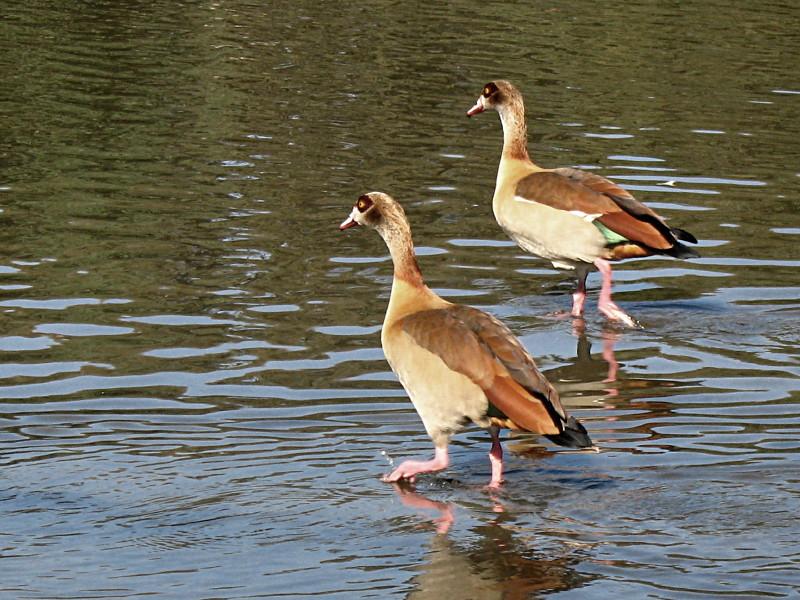 27-11-2010-egyptian-goose3