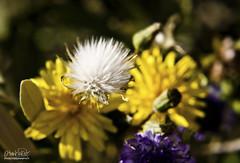 Peloncha (Oscar.vng) Tags: barcelona naturaleza flower macro nature up closeup canon eos close bokeh catalunya sitges garraf catalua flo 2010 400d 2010photos ao2010 2010year fotos2010 oscarvng httpballoonaprivatthumbloggercom