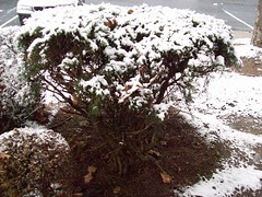 Snow on shrubs - 12-4-10