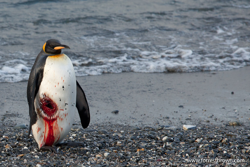 King Penguin, South Georgia, Injured