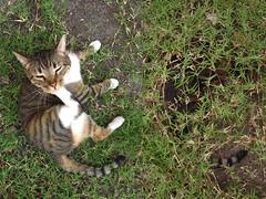 AHORA LO VE Y AHORA NO LO VE (telly negotrópica) Tags: brasil cat lindo gato gatito geraldo icho barao ailoviu