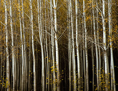 Ghostly poplars cropped (walla2chick) Tags: autumn trees usa oregon grove farm or poplars 2776 umatilla