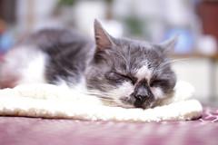 pet animal cat ペット 猫 miyako 動物 sigma30mmf14exdchsm みやこ canoneos7d