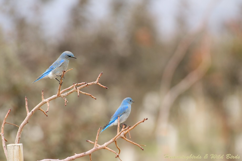 Mountain Bluebird 12101-7