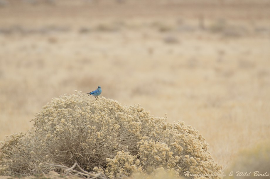 Mountain Bluebird 12101-6