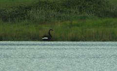 Schwarzschwan am Lake Wallace, NGIDn936351340 (naturgucker.de) Tags: australien cygnusatratus schwarzschwan lakewallace naturguckerde cchristopherengelhardt ngidn936351340