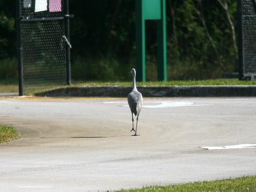 Sandhill Crane 3-20101212