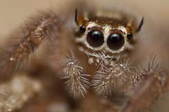 (danoriu) Tags: macro canon spider saudi jumper 1855mm ksa reverselens jubail 500d danor danoriu