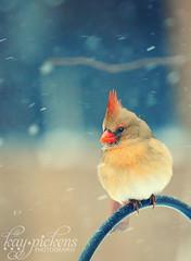 The First Snowfall (Kay Pickens) Tags: winter snow bird cardinal femalecardinalinsnow fremalecardinalbirdsinsnow