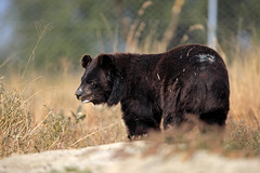 Chowti is recovering from her wounds (WSPA Canada) Tags: bear new food home up female doors blind time outdoor structures her give used using explore smell brc were after safe forced took trade period refused baiting sticking borders alternative owner quarantine asiatic enclosure sense herself opened confiscate coaxed timidly chowti liveihood familiarise
